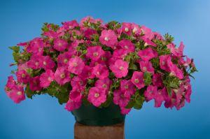 petunia-hybrida-avalanche-rose-t0571-1