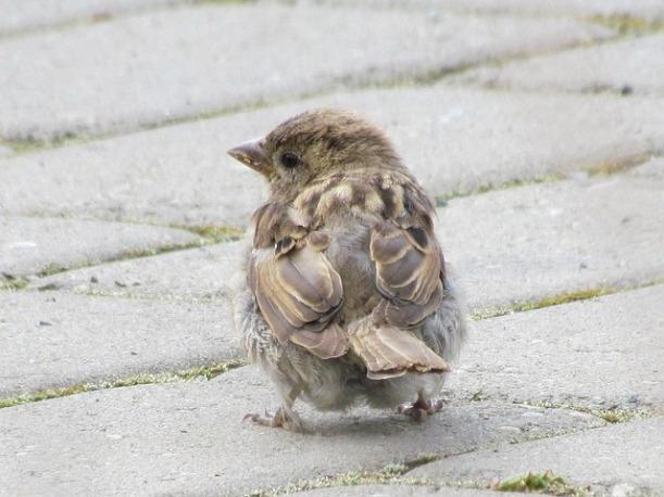sparrow-19371_640